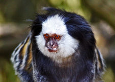 Black Tufted Marmoset Callithrix penicillata. Found in the Brazilian Rain Forest.  I took this image at Twycross Zoo Stock Photos