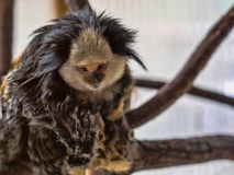 Black-tufted marmoset, Callithrix penicillata, has big hairbrushes on his head. The Black-tufted marmoset, Callithrix penicillata, has big hairbrushes on his Royalty Free Stock Images