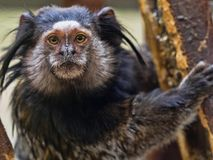 Black-tufted marmoset, Callithrix penicillata, has big hairbrushes on his head. The Black-tufted marmoset, Callithrix penicillata, has big hairbrushes on his Royalty Free Stock Photo