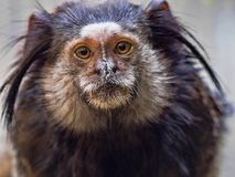 Black-tufted marmoset, Callithrix penicillata, has big hairbrushes on his head. The Black-tufted marmoset, Callithrix penicillata, has big hairbrushes on his Royalty Free Stock Photography