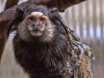 Black-tufted marmoset, Callithrix penicillata, has big hairbrushes on his head. The Black-tufted marmoset, Callithrix penicillata, has big hairbrushes on his Royalty Free Stock Photos