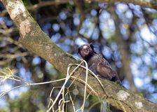 Black-tufted marmoset, endemic primate of Brazil. SAO PAUL0, SP, BRAZIL - AUGUST 29, 2015 - Black-tufted marmoset, Callithrix penicillata, primate native of stock photography
