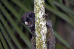 Black-tufted marmoset, endemic primate of Brazil Royalty Free Stock Photography
