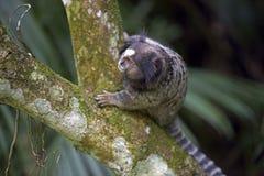 Black-tufted marmoset, endemic primate of Brazil Royalty Free Stock Image