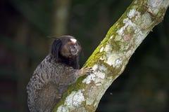Black-tufted marmoset, endemic primate of Brazil Stock Photo