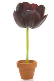 Black Tulip Royalty Free Stock Photography