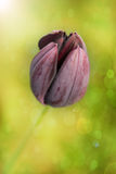 Black tulip. Close up of a black tulipon a sunny spring day Royalty Free Stock Photos
