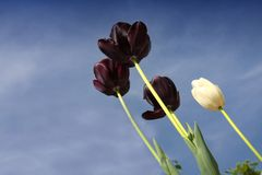 The black tulip in blue sky with copy space. stock images