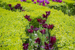 Black tulip. For centuries Dutch tulip growers have searched for this exclusive flower. Recently, a grower/hybridizer from the northern part of Holland achieved Stock Photo
