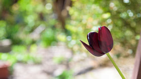Black tulip close up bokeh Royalty Free Stock Photography