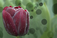 Black tulip with dewdrops and bokeh in Keukenhof Royalty Free Stock Image