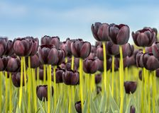 Black Tulip field closeup scene. In bright colors. Netherlands royalty free stock photos