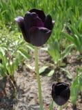 Black tulip flower 'Queen Of Night' Stock Photo