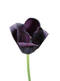 Black tulip flower 'Queen Of Night' on a white background Stock Photography