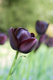 Black tulip in the forground - with others behind Royalty Free Stock Photography
