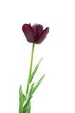 Black tulip isolated on white Royalty Free Stock Image