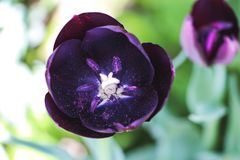 Black tulip Stock Photo