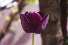 Black tulip Royalty Free Stock Images
