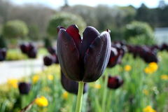 Black Tulip Side View Royalty Free Stock Photography