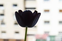 Black tulip Stock Image