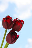 Black tulips Stock Photos