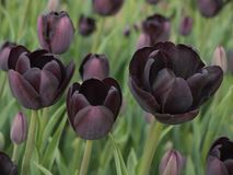 Black tulips Stock Photography