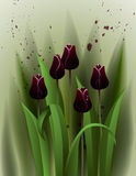 Black tulips Royalty Free Stock Photography