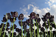 Black tulips Royalty Free Stock Photo