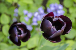 Black tulips in  detail. Black tulips in detail seen from above Royalty Free Stock Photography