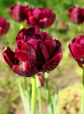 Black tulips are in the drops of dew Stock Image