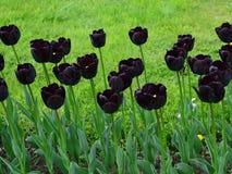 Black tulips stock photo