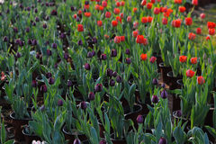 Black Tulips in full bloom in the spring Royalty Free Stock Images