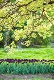 Black tulips Stock Photos
