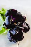 Black tulips and a ladybug on the petal Royalty Free Stock Image