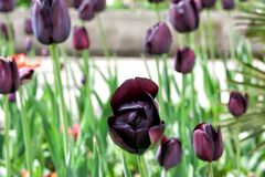 Black Tulips Stock Images