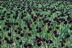 Black tulips Stock Image
