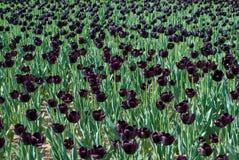 Black tulips Stock Image