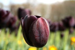 Black Tulips and Trees Stock Photography