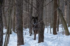 A black Tundra Wolf hiding in the trees of a forest during Winter stock photos