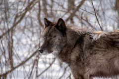 A black Tundra Wolf staring into the distance royalty free stock photography