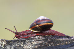 Black Turban Snail (Tegula funebralis) Royalty Free Stock Image