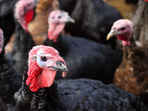 Black Turkey Royalty Free Stock Photo