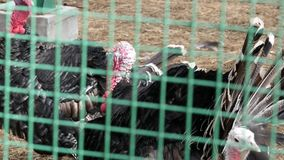 Black turkey in aviary behind the green fence. farm animals in a zoo. spring day. slow motion. Black turkey in aviary behind the green fence. farm animals in a stock video