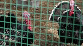 Black turkey in aviary behind the green fence. farm animals in a zoo. spring day. slow motion. Black turkey in aviary behind the green fence. farm animals in a stock footage