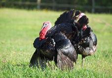 The black turkey male on  meadow. The black turkey  on a spring meadow Stock Photos