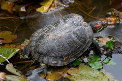 Black turtle. In a pond royalty free stock images