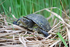 Black turtle. Crawling through grass Stock Photography