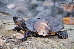 Black turtle Stock Images