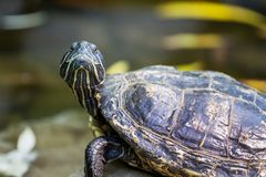 The black turtle looks up on the background of the river_. The black turtle looks up on the background of the river royalty free stock photo