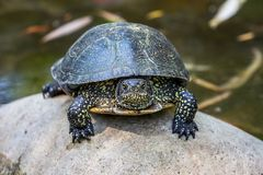 Black turtle sits on a pebble in a river, the front view_. Black turtle sits on a pebble in a river, the front view royalty free stock photo